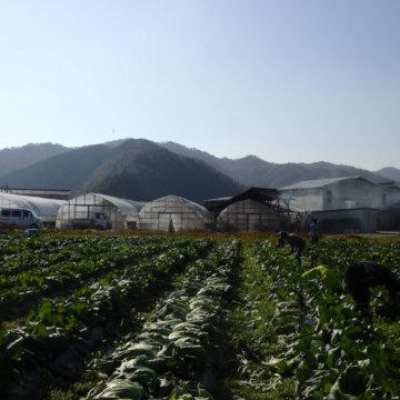 広島菜の収穫