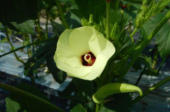 オクラの花