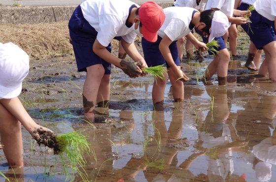 甲田小学校5年生の田植え体験