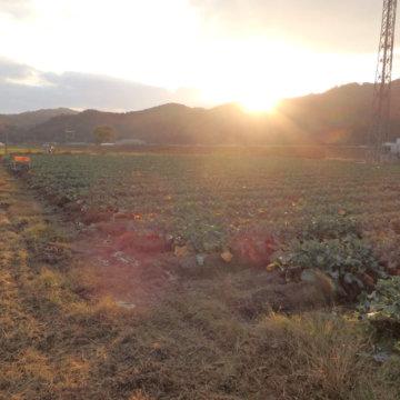 ブロッコリー収穫。