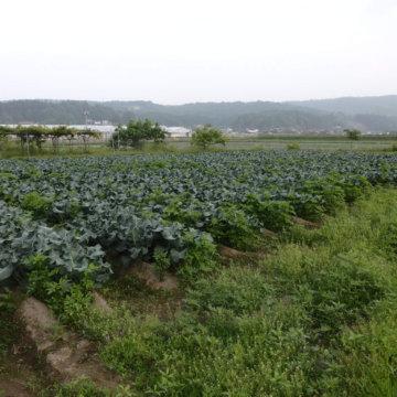 ブロッコリー収穫はじまりました。